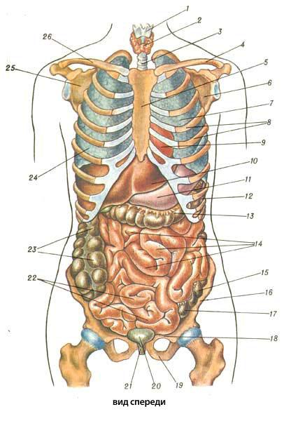 и костей скелета человека:
