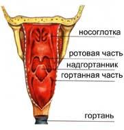 Глотка – это непарный полый орган, состоящий из мышц.