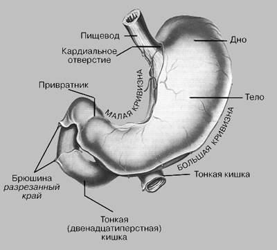 Желудок – это один из органов пищеварительной системы, по своему внешнему виду представляет собой мешковидное расширение пищеварительного тракта
