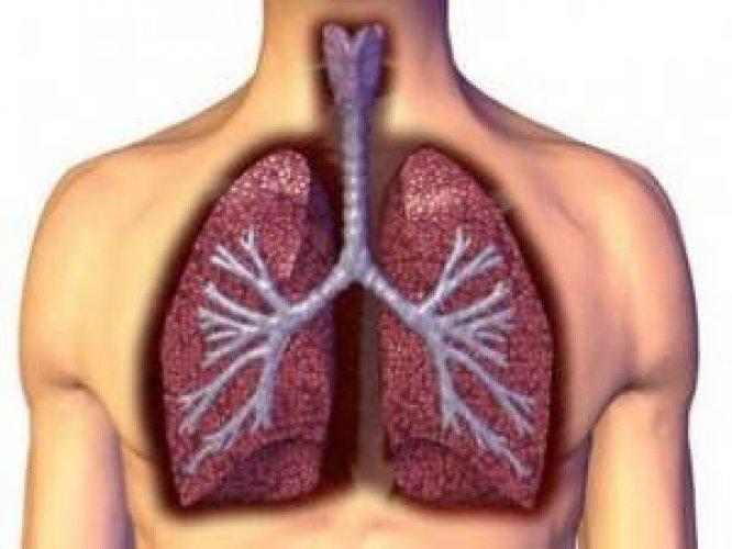 Лёгкие — парный орган, относящийся к дыхательной системе