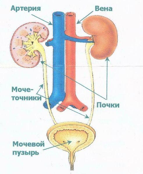 Мочеточник — выводной проток, по которому моча поступает в мочевой пузырь.